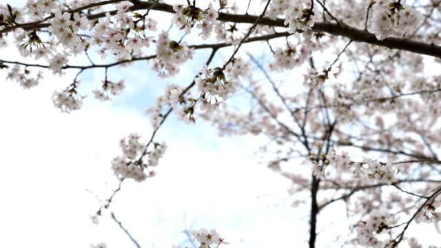 vídeos de stock e filmes b-roll de cherry blossoms swaying against the wind and blue sky - pomar