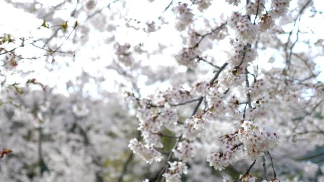 vídeos de stock e filmes b-roll de cherry blossoms swaying against the wind at oshino hakkai village, slow motion shot - pólen