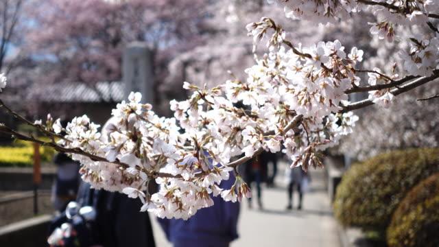 vídeos y material grabado en eventos de stock de cherry blossoms swaying in the wind as people enjoy hanami on a sunny spring day - árbol de hoja caduca