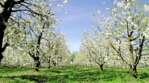 vídeos de stock, filmes e b-roll de flores de cereja que balanç no vento. primavera no pomar. vista aérea - cabeça da flor