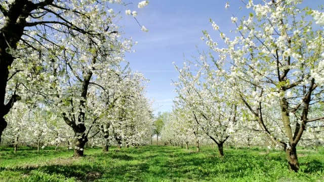cherry blossoms swaying in the wind. springtime in orchard. aerial view - orchard stock videos & royalty-free footage