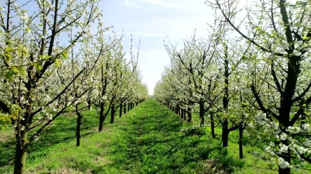 vidéos et rushes de fleurs de cerisier se balançant dans le vent. printemps dans le verger. vue aérienne - verger