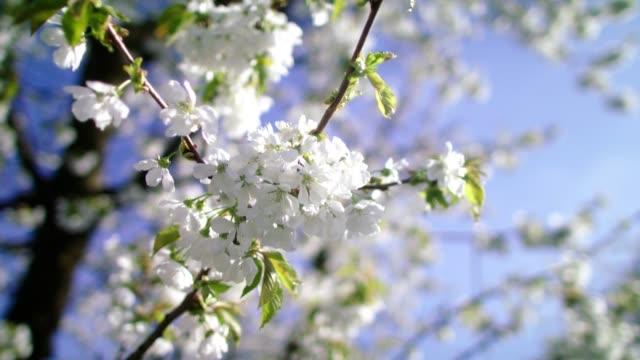kirschblüten schwingen im wind. frühling im obstgarten - baumblüte stock-videos und b-roll-filmmaterial