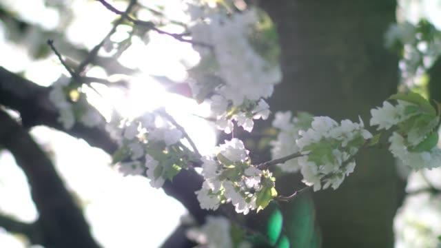 kirschblüten schwingen im wind. frühling im obstgarten - ast pflanzenbestandteil stock-videos und b-roll-filmmaterial