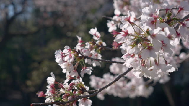 cherry blossoms swaying in the wind - national landmark stock videos & royalty-free footage
