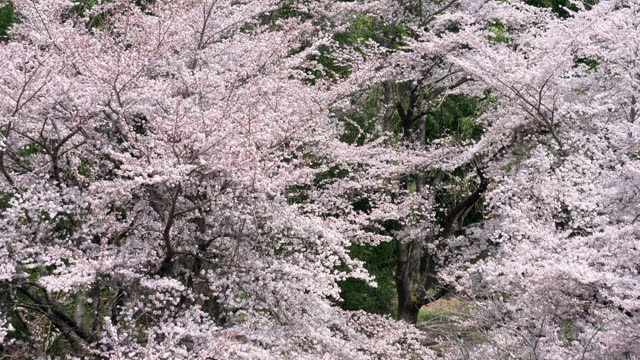 cherry blossoms swaying in the wind (tilt down) - satoyama scenery stock videos & royalty-free footage