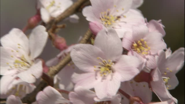 cherry blossoms swaying in the wind. - stamen stock videos & royalty-free footage