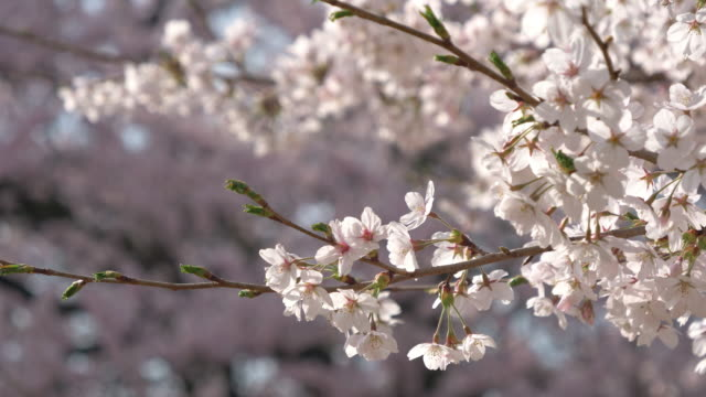cherry blossoms swaying in the wind - swaying stock videos & royalty-free footage