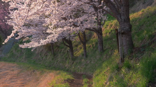 cherry blossoms swaying in the wind - jp201806 stock videos and b-roll footage