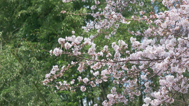 cherry blossoms swaying in the wind with a bamboo grove in the background (zoom in) - bamboo plant stock videos & royalty-free footage