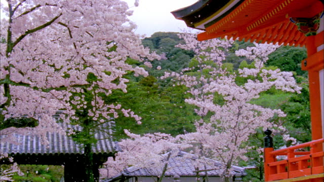 ms pan cherry blossoms swaying in wind at kiyomizu temple, kyoto japan - kyoto temple stock videos and b-roll footage