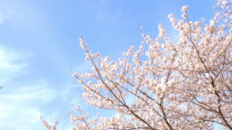 Cherry blossoms swaying in wind over blue sky