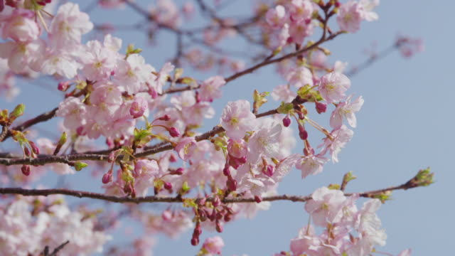 cherry blossoms swinging with breeze - petal stock videos & royalty-free footage