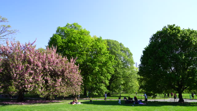 cherry blossoms tree stands on the great lawn among the fresh green trees under the clear blue sky at at central park new york usa on may 08 2018. - great lawn stock videos and b-roll footage