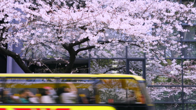 Cherry blossoms trees reflect to building windows at Yasukuni Doori. Tour buses go through the front of windows.