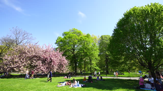 cherry blossoms trees stand among the fresh green trees on the great lawn in central park new york. people stay at lawn and, pedestrians walk on the pathway behind. spring breeze shakes cherry blossoms and fresh greens. - great lawn stock videos and b-roll footage
