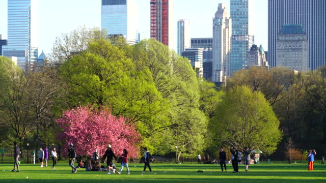 cherry blossoms trees stand on the great lawn at sunset in central park new york. manhattan skyscrapers can be seen behind. - central park manhattan stock videos & royalty-free footage