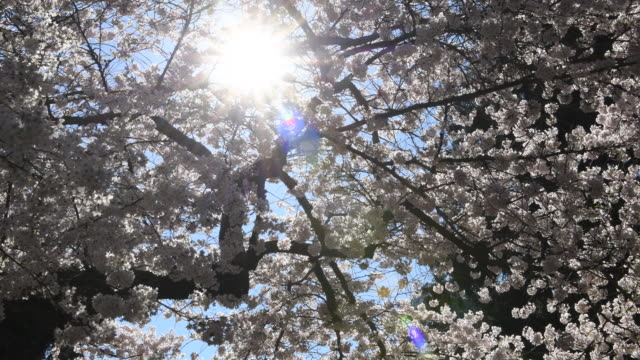 cherry blossoms - university of washington stock videos & royalty-free footage