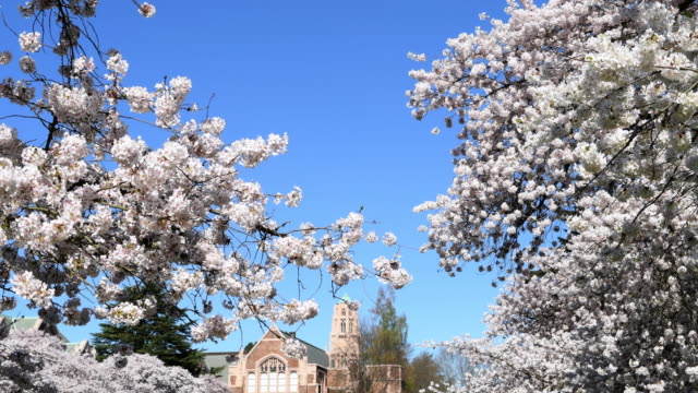 stockvideo's en b-roll-footage met kersenbloesems - universiteit van washington
