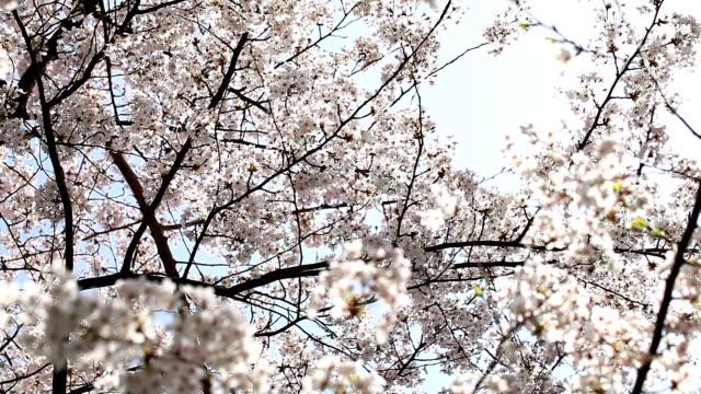 vídeos de stock e filmes b-roll de hd: kirschblüten - prunus taihaku