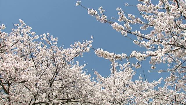 SAKURA -cherry blossoms-