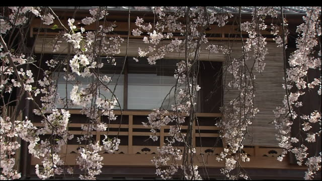 cherry blossoms - gion stock videos and b-roll footage