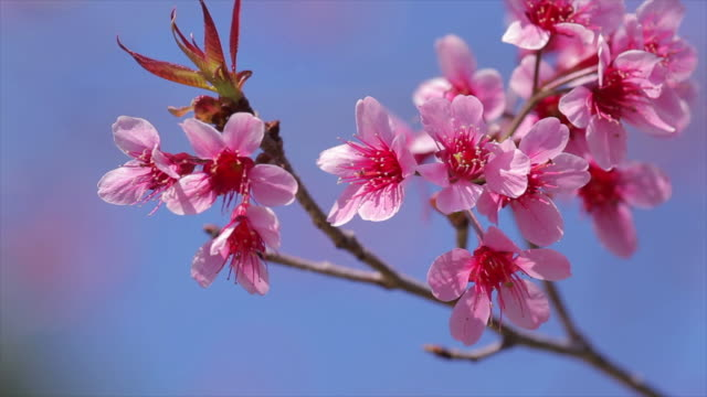 cherry blossoms - high key stock videos and b-roll footage