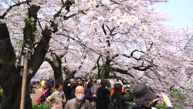 Cherry blossoms viewers walk through under the rows of cherry blossoms trees at Chidorigafuchi.