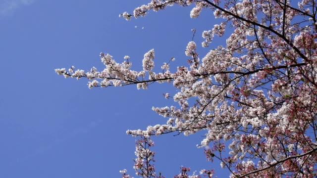 桜の花。風が吹くアップ花びら青い空 - 花びら点の映像素材/bロール