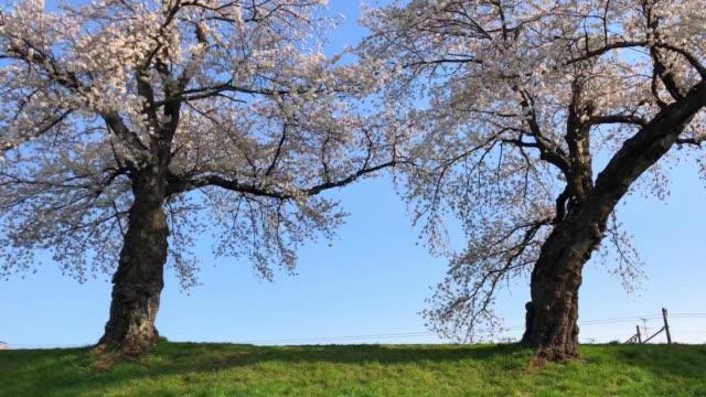 美しい公園で青い空の背景と桜の花 - 桜の花点の映像素材/bロール