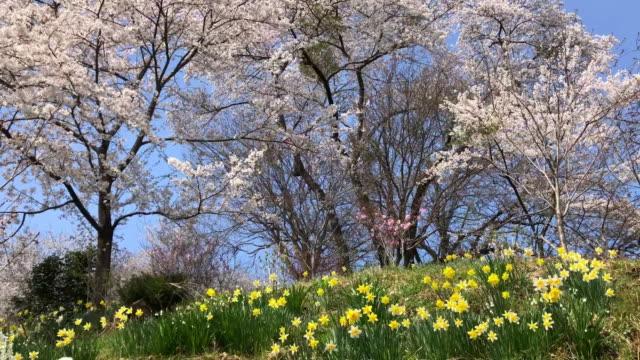 kirschblüten mit blauen himmel hintergrund im schönen park - frühling stock-videos und b-roll-filmmaterial