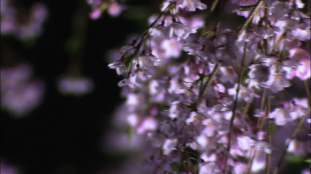 cherry blosssoms - cherry blossom stock videos & royalty-free footage