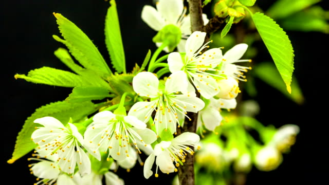Cherry flower blooming against black background in a time lapse movie. Prunus avium growing in moving time lapse.
