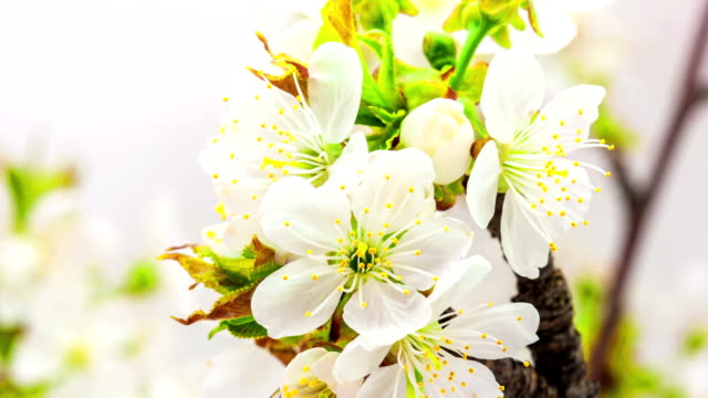 cherry flower blooming against blue background in a time lapse movie. prunus avium growing in moving time lapse. - blossom stock videos & royalty-free footage