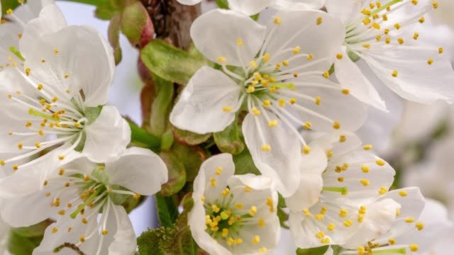 Cherry Flower blooming against yellow background in a time lapse movie. Prunus cerasus growing in time-lapse. - Stock video