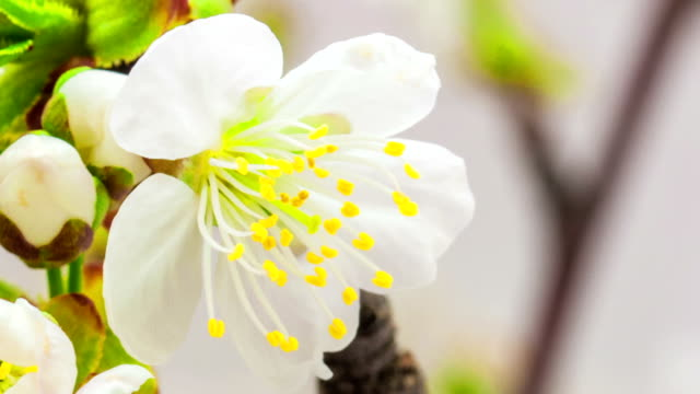 Cherry flower blooming in a time lapse