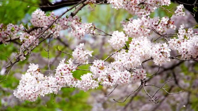 桜の花と落ちるペタルズでおくつろぎください。 - 舞う点の映像素材/bロール