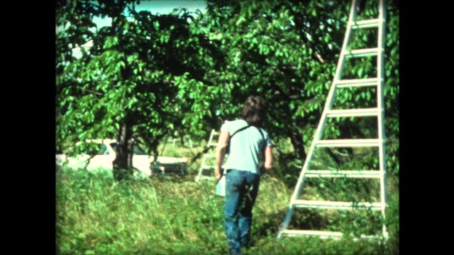1976 cherry picking by hand on tall ladders