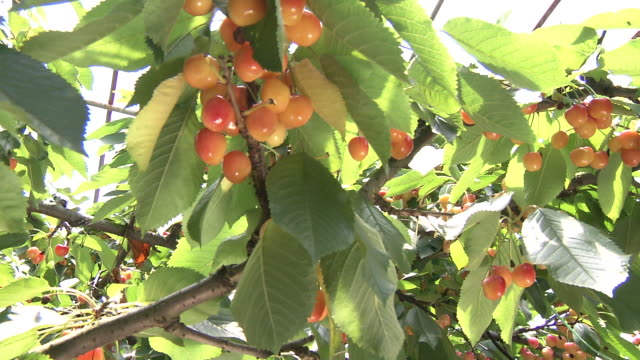 cherry picking - cherry stock videos & royalty-free footage