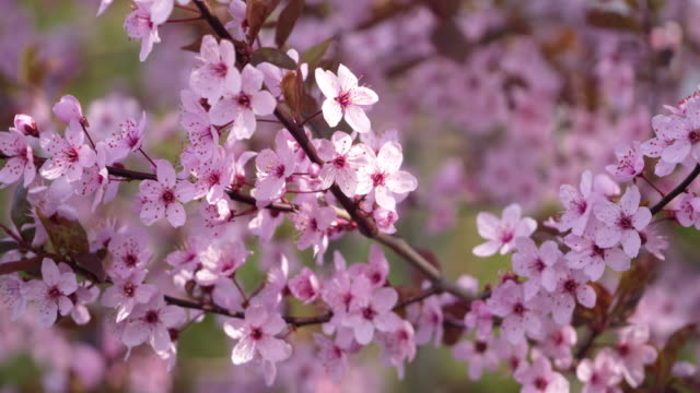 vídeos de stock, filmes e b-roll de cherry plum tree, purple plum tree, prunus cerasifera with purple pink blossoms in back lit, spring. bavaria, germany. - estame