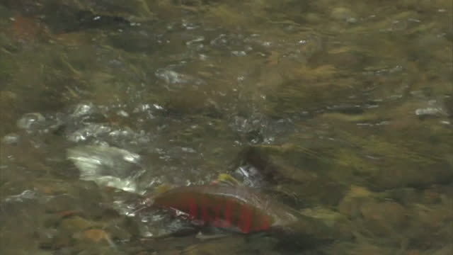 a cherry salmon, oncorhynchus masou making its way into the upper reaches of the shojin river - dorsal fin stock videos & royalty-free footage