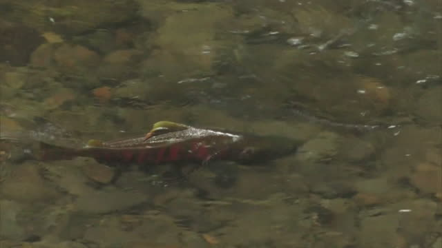 a cherry salmon, oncorhynchus masou making its way into the upper reaches of the shojin river - dorsal fin stock videos and b-roll footage