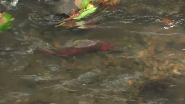 a cherry salmon, oncorhynchus masou moving vigorously upstream in the upper reaches of the shojin river - dorsal fin stock videos & royalty-free footage