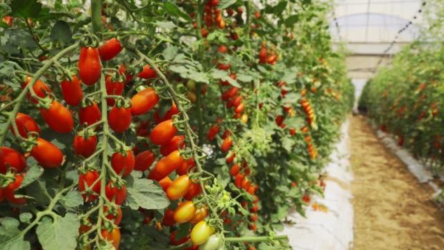 cherry tomato greenhouse - cherry tomato stock videos & royalty-free footage