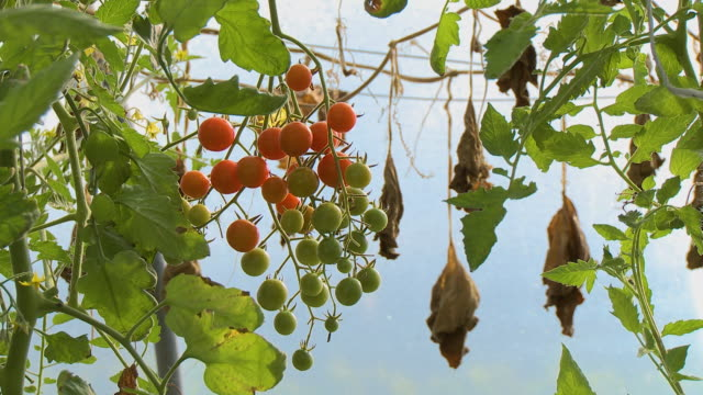 cherry tomatoes and wilted leaves - cherry tomato stock videos & royalty-free footage