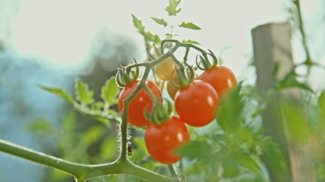 cherry tomatoes in sunshine - organic farm stock videos & royalty-free footage