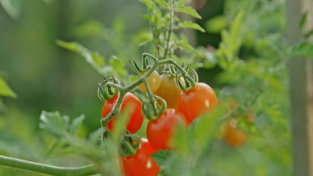 slo mo cherry tomatoes in the sunny garden - cherry tomato stock videos & royalty-free footage