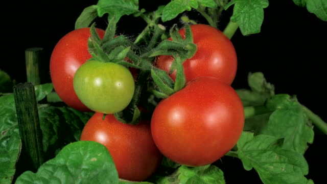 cherry tomatoes ripenning 4k - ripe stock videos & royalty-free footage