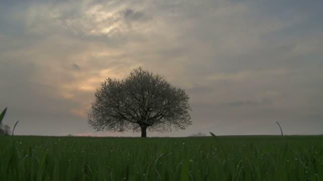cherry tree and wet grass, sunrise - single tree stock videos & royalty-free footage