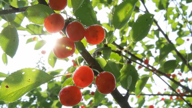 HD DOLLY: Cherry Tree Backlit